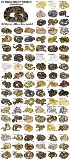 A whole bunch of ball python morphs! Les Reptiles, Cute Reptiles, Reptiles And Amphibians, Pretty Snakes, Beautiful Snakes, Animals Beautiful, Reptile Room, Reptile Cage, Snake Breeds