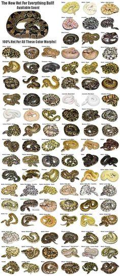 Toute la génétique du python regius