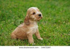 stock photo : Cocker Spaniel puppy
