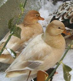 Call ducks: a small sweet faced duck breed.