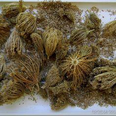 I lavori di giugno fra raccolta semi e talee - by tyziana - Furighedda gardening