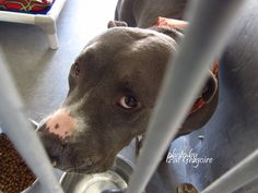 My name is Karma. female pit bull mix. (somehow missed the kennel card - will post info when available). Seems overwhelmed and untrusting right now. located in bldg 4 - no public view NOTE: Pit bulls are not kept as long as others so those dogs are always urgent!! Baldwin Park shelter https://www.facebook.com/photo.php?fbid=1036482053030298&set=a.705235432821630&type=3&theater