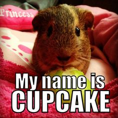 Cutie guinea pig named CUPCAKE! Thanks goes to Mary for sharing this cheery guinea pig! Cute Guinea Pigs, Guinea Pig Care, Pig Pics, Tiny Pigs, Funny Animals, Cute Animals, Guniea Pig, Funny Mouse, Pig Stuff