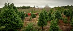 In search of the perfect Christmas tree.