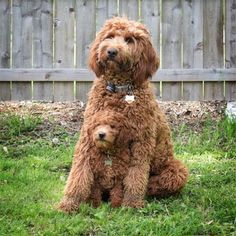 For the love of Labradoodles! Double doodles.