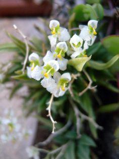 Zygostates alleniana .orchid miniatura