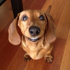 All dachshunds are happy just to be a dog instead of a hot dog! My dachshund smiles like this all the time!