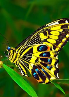 Anise Swallowtail Butterfly by Bill Caldwell