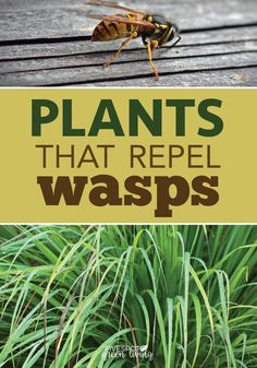 The Best Wasp Repellent Plants - Five Spot Green Living Do you know the best wasp repellent plants are to include in landscaping that look nice and also keep those nasty wasps away? Here are some tips for natural pest control using plants and herbs. Tall Plants, Outdoor Plants, Plants That Repel Bugs, Outdoor Gardens, Plants On Deck, Potted Plants, House Plants, Outdoor Spaces, Wasp Deterrent