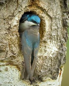 A Tree swallow pair pause momentarily before exchanging duties on the nest. Tree swallows nest throughout the U. and Canada. All Birds, Little Birds, Love Birds, Pretty Birds, Beautiful Birds, Animals Beautiful, Animals Of The World, Animals And Pets, Polo Sul