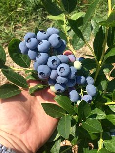 Right now is the peak of blueberry season. Take a ride out to pick way better tasting organic #blueberries at our popular you pick organic #blueberry farm. Call (609) 561-5905 for daily picking updates