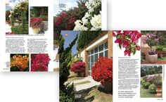 Revista-Natureza310 Primaveras - Bougainvillea spectabilis