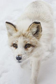 """♥ ✿⊱╮ Beautiful animals ✿⊱╮♥ Was können güchse dafür das sue halt lämmer oder etwas anderes von uns menschen jagen und dann werden sie qäulvol oder so getötet !!! FRECHHEIT """"ψ(`∇´)ψ"""