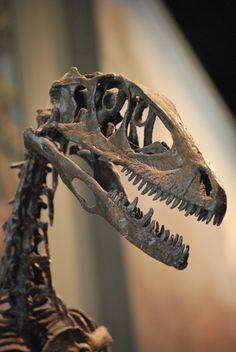 Dino w flower crown  FMNH_Deinonychus_Skull.JPG (2592×3872) - Dinosauria, Saurischia, Theropoda, Dromaeosauridae. Auteur : OnFirstWhols, 2009.