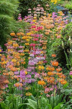 These are so easy to growyou just scratch the seed into moist soil in a partly shaded garden RHS Wisley Candelabra primula Woodland Garden, Forest Garden, Bog Garden, Easy Garden, Garden Beds, Shade Garden, Garden Plants, Balcony Garden, Beautiful Gardens
