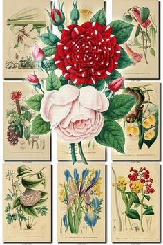 FLOWERS-23 Collection of 79 vintage images Chrysanthemum lily uga Racemosa, Cnicus Heterophyllus, Colchicum Autumuale, Common Arrow-Heath, Common Chamomile, Common Columbine, Common Daffodil, Common Mallow, Common Purple Violet, Convolvulus Soldanella, Corn Feverfew, Corn Sow-Thistle, Cotton - Gossypium Barbadense, Crocus, Dandelion - Taraxacum Taraxacum, Datura Stramonium, Dendrobium Devonianum, Dianthus Caesius, Dielytra Chrysantha, Doronicum Pardalianches