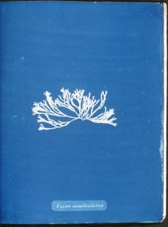 Stunning Cyanotypes of Sea Algae by the Self-Taught Victorian Botanist Anna Atkins, the First Woman Photographer and a Pioneer of Scientific Illustration Bleu Cyan, Monochrome, John Herschel, Cyanotype Process, Hair In The Wind, Image Theme, Virtual Art, Female Photographers, New York Public Library