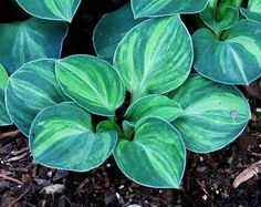 Enemærkets Hosta have Mouse Ear Royal Mouse Ears Shade Garden Plants, Hosta Plants, Foliage Plants, Flora Flowers, Types Of Flowers, Hosta Varieties, Gardening, Outdoor Plants, Dream Garden