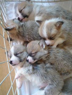 Oh, my...... sweet Corgi puppies