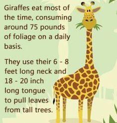 Were you aware that each time a giraffe lifts up its neck, it lifts more than 550 pounds? If that made you gape in wonderment, then read on for more such intriguing facts about giraffes! Safari Crafts, Giraffe Crafts, Giraffe Art, Giraffe Facts For Kids, Fun Facts For Kids, Giraffe Habitat, Giraffes Cant Dance, What Do Giraffes Eat, Zoo Activities