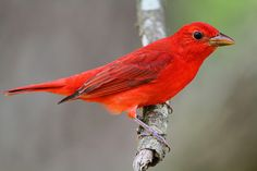 Summer Tanager (Photo by Doug Lloyd).  What a gorgeous color!