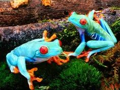 """""""red-eyed blue frogs"""" These are red eyed tree frogs, and they were green before being colored blue with Photoshop."""