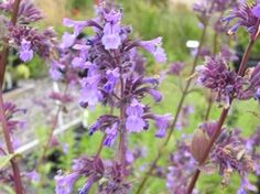 Catmint 'Wild Cat' improved flowers and habit, plus attractive purple calyxes