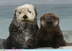 Mother sea otter and pup, courtesy of Monterey Bay Aquarium. Animals And Pets, Baby Animals, Funny Animals, Cute Animals, Cute Creatures, Beautiful Creatures, Animals Beautiful, Animal Original, Otter Love