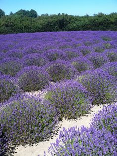 Annual Sequim Washington Lavender Festival, 3rd weekend of July