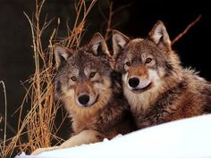 Did you know wolves mate for life? If either of the pair dies, the other does not take a new mate. Instead, a new alpha male and female is chosen from the pack.