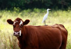 Cattle Egrets - Just discovered these cool little birds in Maui.  They follow cattle around and walk like they're moving to 70's funk music :)