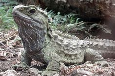 Tuatara, a reptile living in New Zealand, has a unique way of chewing its food, say scientists who have studied its jaws in detail