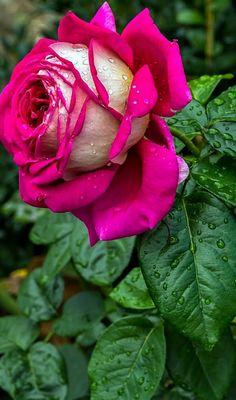 Top 10 beautiful flowers-Rose-Rose Flower-Beautiful Roses-Beautiful Rose Flowers PART Beautiful Rose Flowers, Pretty Roses, Exotic Flowers, Beautiful Flowers, Ronsard Rose, Orquideas Cymbidium, Special Flowers, Hybrid Tea Roses, Good Morning Flowers