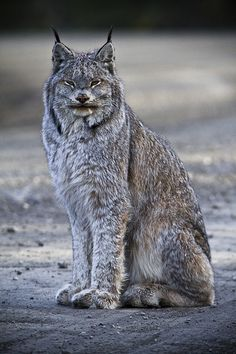 Denali National Park Alaska lynx cat. Look at his huge back feet....better for walking on snow!