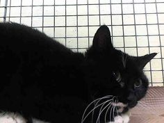 TO BE DESTROYED 1/29/15<br />Brooklyn Center<br /><br />My name is MINI. My Animal ID # is A1026064.<br />I am a female black and white domestic sh mix. The shelter thinks I am about 7 MONTHS old.<br /><br />I came in the shelter as a STRAY on 01/22/2015 from NY 11204, owner surrender reason stated was STRAY.<br /><br />MOST RECENT MEDICAL INFORMATION AND WEIGHT<br />01/23/2015 Exam Type VACCINATE - Medical Rating is 3 C - MAJOR CONDITIONS , Behavior Rating is NONE, Weight 5.1 LBS.<br /><br…
