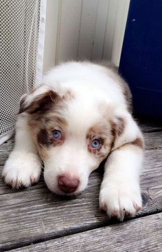 I'm in love with my beautiful little fluffy Australian Shepherd puppy 1