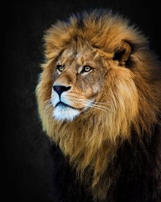 Löwe - The lion king - # lö . - Lion – The lion king – – Favorite – - Lion Photography, Wild Animals Photography, Lion Images, Lion Pictures, Beautiful Cats, Animals Beautiful, Cute Animals, Farm Animals, Beautiful Pictures