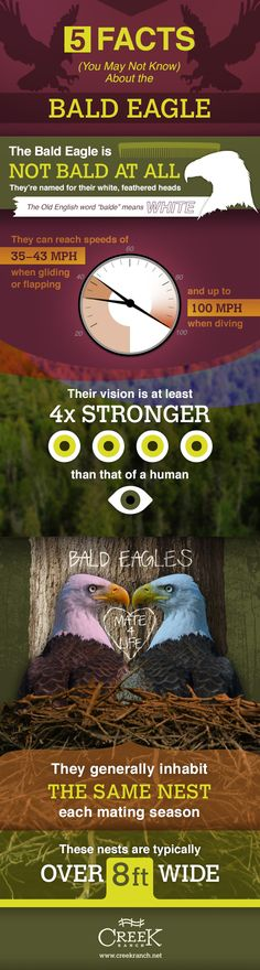 5 facts about Bald Eagles and the 6th one not here---Females are bigger than males...just saying.