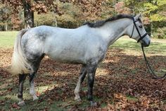American Warmblood mare. Most Beautiful Animals, Beautiful Horses, Warmblood Horses, Equestrian, American, Grey, Beauty, Pretty Horses, Gray