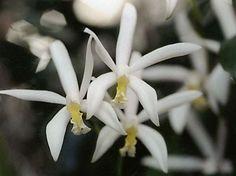 Cattleya Hybrid Flower: Laeliocattleya Intermedio-flava
