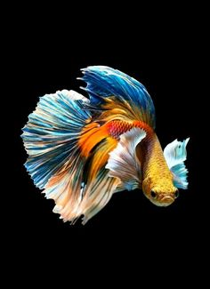 PRODAC BETTA FOOD is a compound feed in granules for all Betta splendens. Read more on our WEBSITE www.it - The Siamese fighting fish (Betta splendens), also sometimes colloquially known as the Betta, is popular as an aquarium fish. Betta Fish Types, Betta Fish Care, Betta Fish Tattoo, Betta Food, Pretty Fish, Beautiful Fish, Colorful Fish, Tropical Fish, Exotic Fish