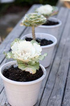 little lettuce plants, how pretty!