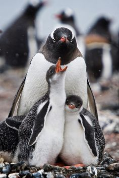 Demanding Penguin Chick, Antarctica  Aitcho Island in the South Shetland Islands, home to a large colony of penguins, including Gentoos.