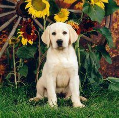 PUP 05 RS0020 01 © Kimball Stock Yellow Labrador Retriever Puppy Sitting On Grass By Sunflowers Wagon Wheel #labradorretriever