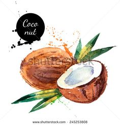 Hand drawn watercolor painting on white background. Vector illustration of fruit coconut - stock vector