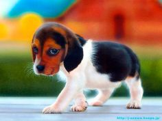 A Beagle (puppy) shown. Theyre all typically this cute. Beagle puppy so adorable Cute Beagles, Cute Puppies, Cute Dogs, Dogs And Puppies, Begal Puppies, Funny Dogs, Chihuahua Puppies, Baby Puppies, Mini Puppies