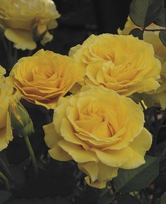 Another of my rose trees received today - the Doris Day yellow rose - she was one of my favorite actresses & I still enjoy watching her old movies - cannot wait for this rose tree to break out in blossom ----