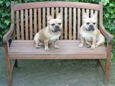 Bumper and his Sister, French Bulldogs