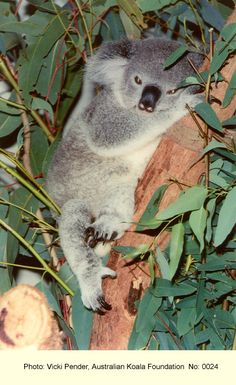 Koala Photo Gallery | Australian Koala Foundation