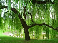 Willow trees are my all time Fav